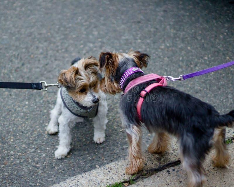 Zbliżenie dwa ślicznego psa na smyczu patrzeje each inny na chodniczku obraz stock