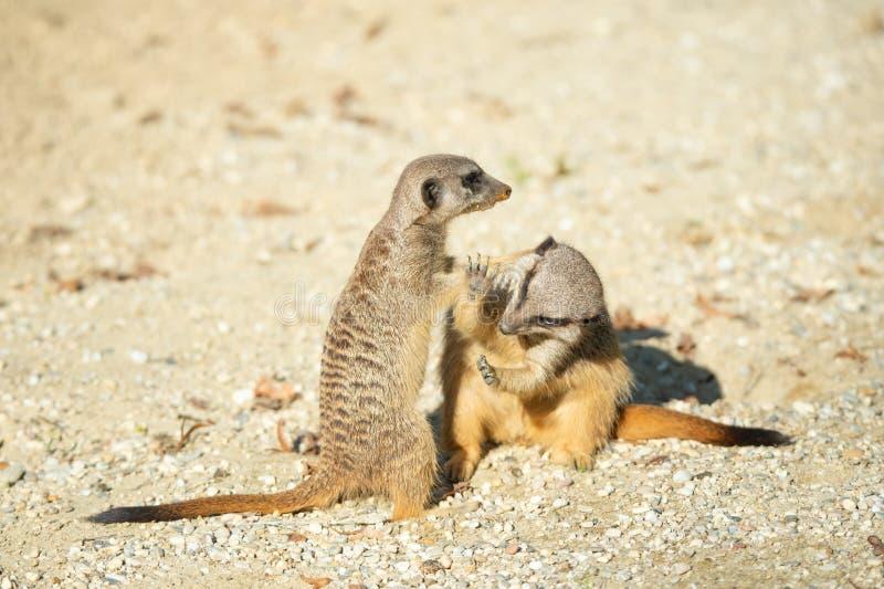 Zbliżenie dwa dorosłego walczącego meerkats w piaskowatej pustyni zdjęcie royalty free