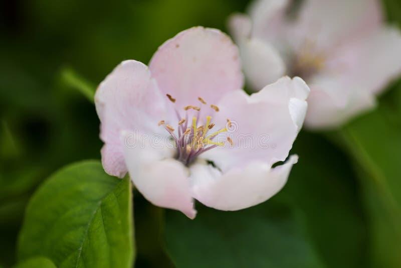 Zbliżenie dwa pigwa kwiatu zdjęcie royalty free
