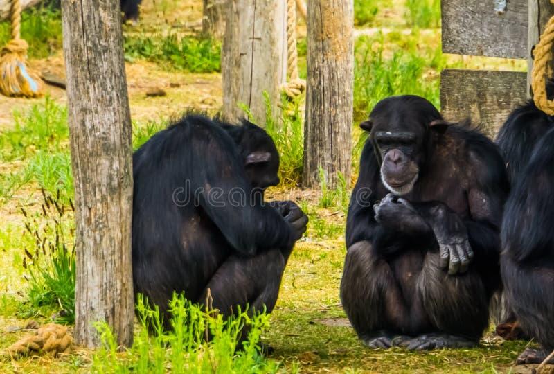 Zbliżenie dwa zachodniego szympansa siedzi przeciw drzewnemu bagażnikowi, krytycznie zagrażający prymasu specie od Afryka zdjęcia royalty free