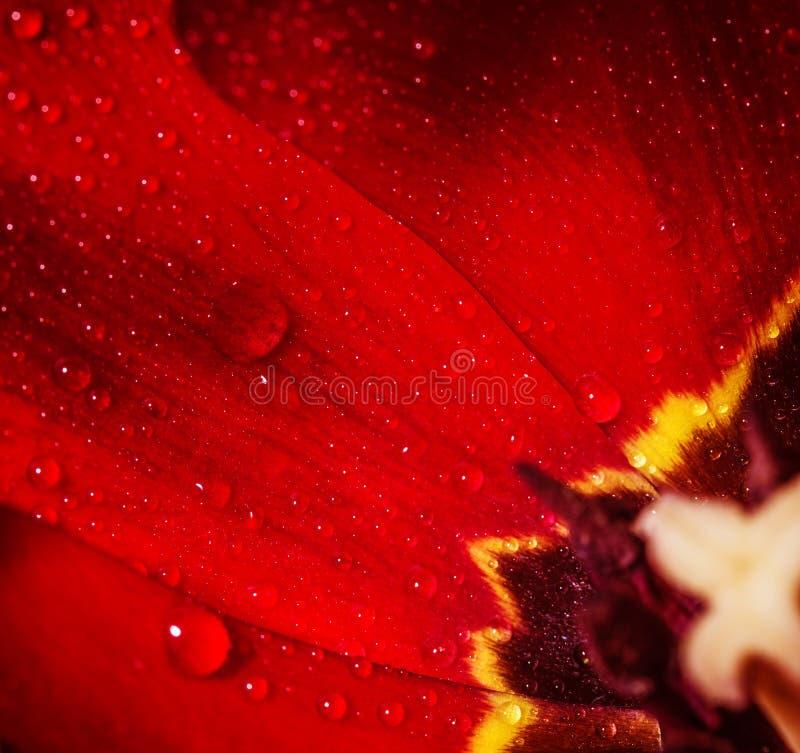 Sedno czerwony tulipan obraz royalty free