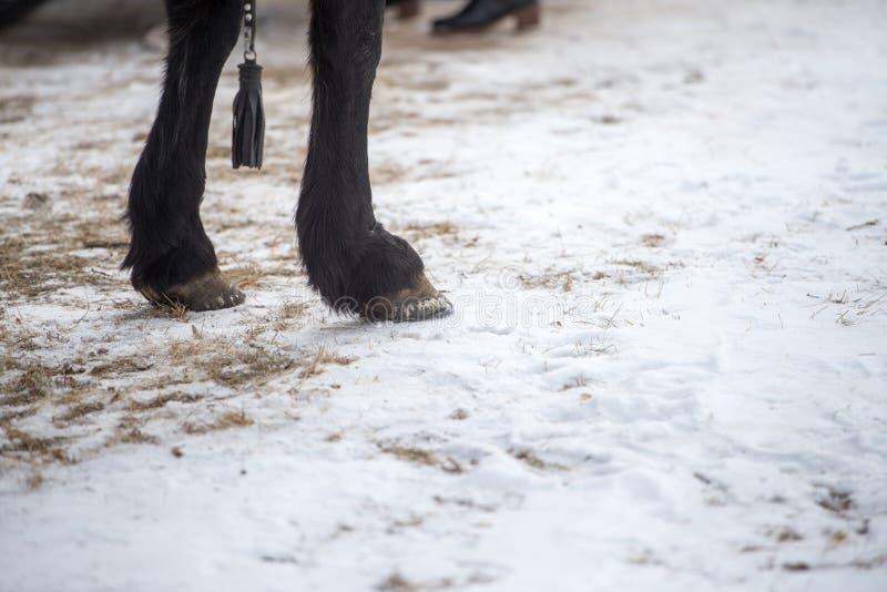Zbliżenie fotografia koń iść na piechotę gdy stoją w chrupiącym zima śniegu fotografia royalty free