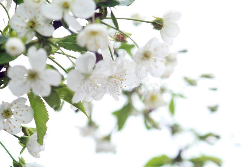 Zbliżenie fotografia wiśnia kwitnie na bielu plama Breathtaking wiosny fotografia Naturalny tło fotografia stock