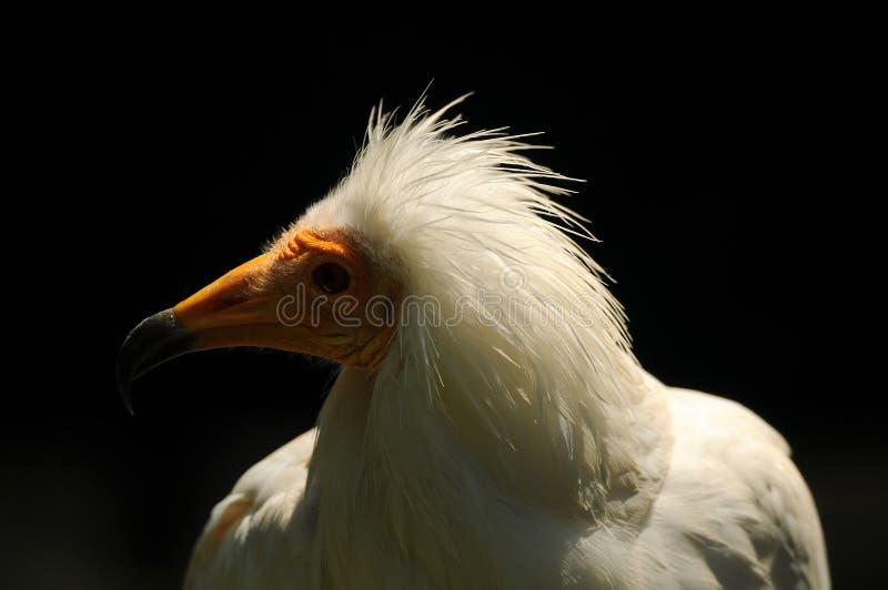 Zbliżenie głowa Egipski sęp zdjęcia stock