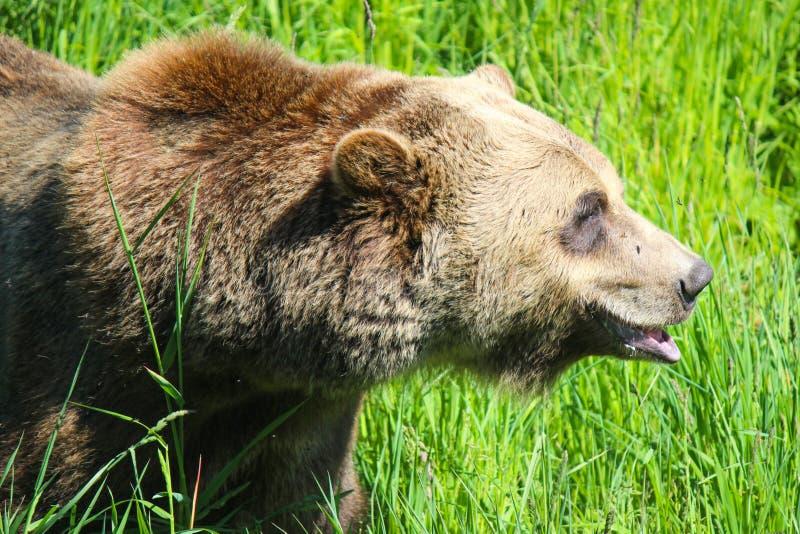 Zbliżenie głowa strzelał wielki grizzly niedźwiedź chodzi przez wysokiego gry obraz stock