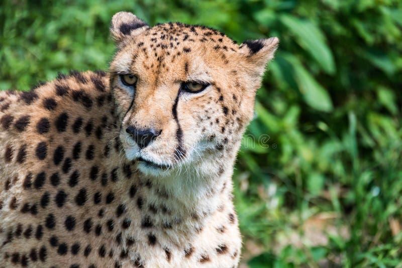 Zbliżenie gepard twarz zdjęcia royalty free