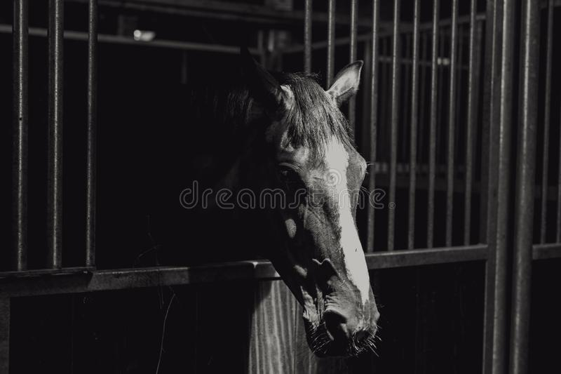 Zbliżenie greyscale strzał piękny koń w metal klatce obrazy royalty free