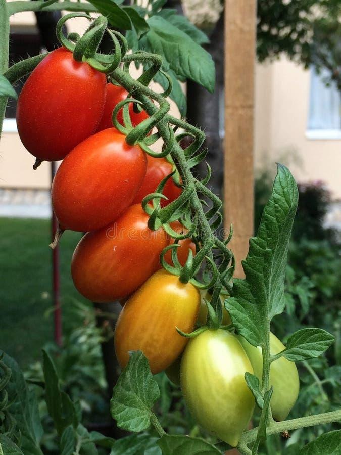 Zbliżenie grono pomidorowe owoc w różnych colours fotografia royalty free