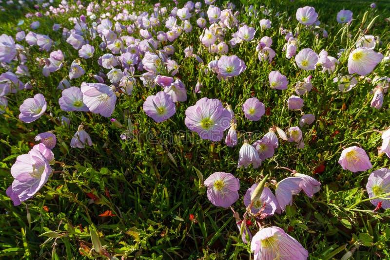 Zbliżenie grono Teksas menchii wieczór pierwiosnku Wildflowers w Opóźnionym słońcu. obraz stock