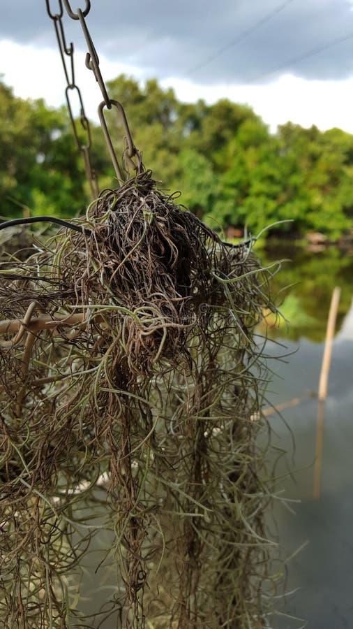 Zbliżenie Hiszpański mech z kanałem i las w tle zdjęcie royalty free