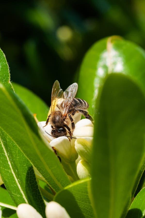 Zbliżenie honeybee na białego kwiatu zbierackim pollen fotografia stock