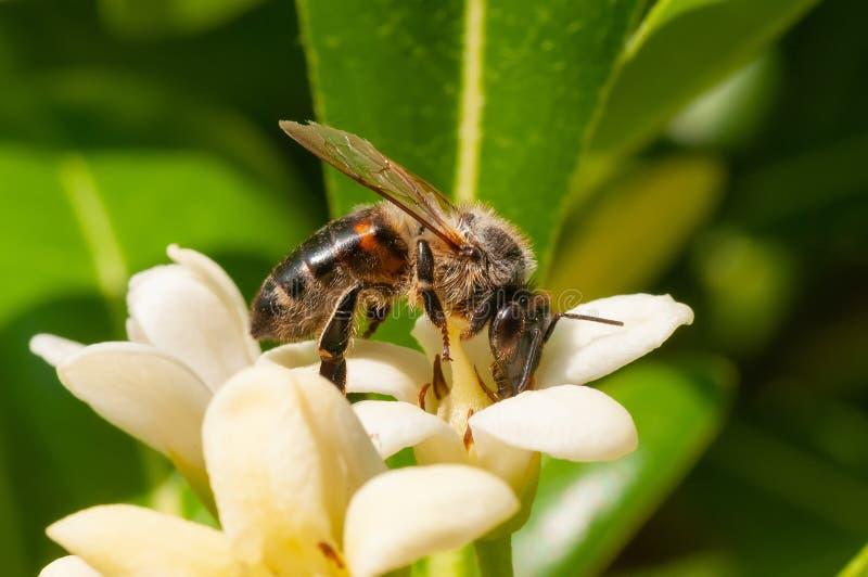 Zbliżenie honeybee na yellowish kwiatu zbierackim pollen obraz royalty free
