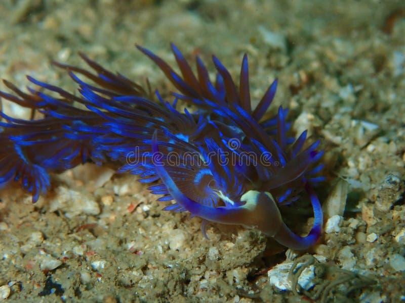 Zbli?enie i makro- strza? nudibranch Facelinidae jeste?my taksonomicznym rodzin? kolorowe denne podro?ec Te s? specyficznie aeoli fotografia stock