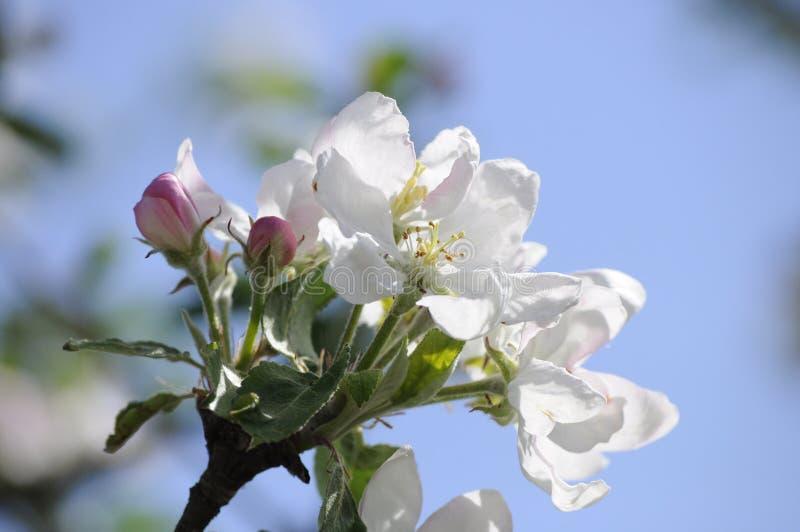 Zbliżenie jabłoni okwitnięcia i świezi zieleni liście w świetle słonecznym słoneczny dzień w wiośnie obraz stock
