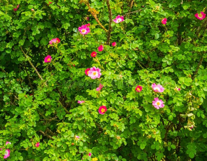 Zbliżenie japończyk róży roślina z kwiecenie menchiami kwitnie, popularne ornamentacyjne ogrodowe rośliny, natury tło zdjęcia stock