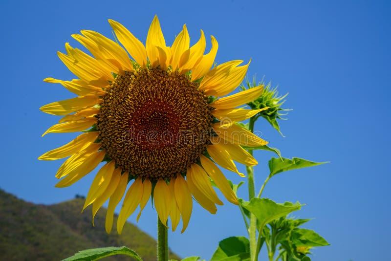 Zbliżenie jaskrawy piękny żółty słonecznik pokazuje naturalnego pollen wzór i wietrznego kolorowego miękkiego płatek z zielonymi  zdjęcia stock