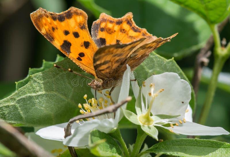 Zbliżenie jaskrawy pomarańczowy monarchicznego motyla obsiadanie na białego kwiatu roślinie zdjęcia royalty free