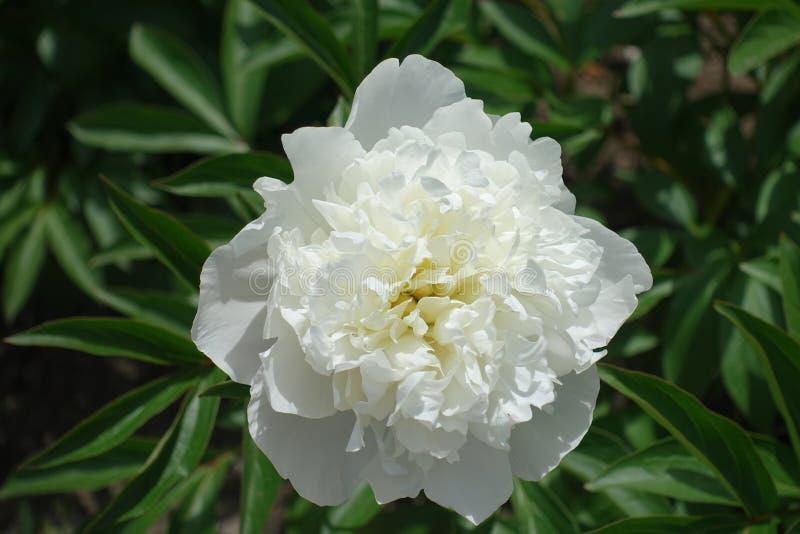 Zbliżenie jeden biały peonia kwiat obraz royalty free