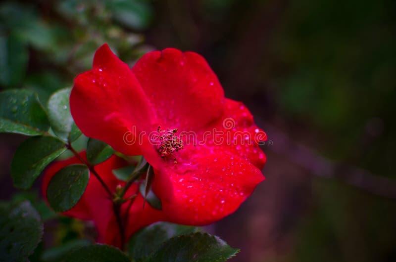 Zbliżenie jeden jaskrawa czerwieni róża z rosa kroplami na płatkach i zieleń liściach zdjęcie royalty free