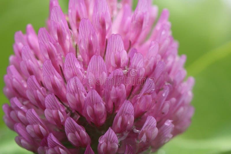 Zbliżenie jeden kwiat na czerwonej koniczyny roślinie obrazy stock