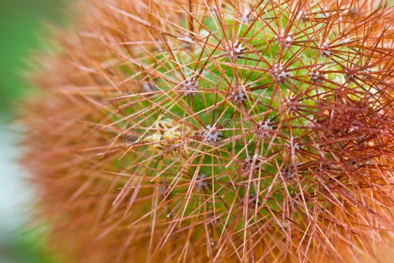 Zbliżenie Kaktus zdjęcie royalty free