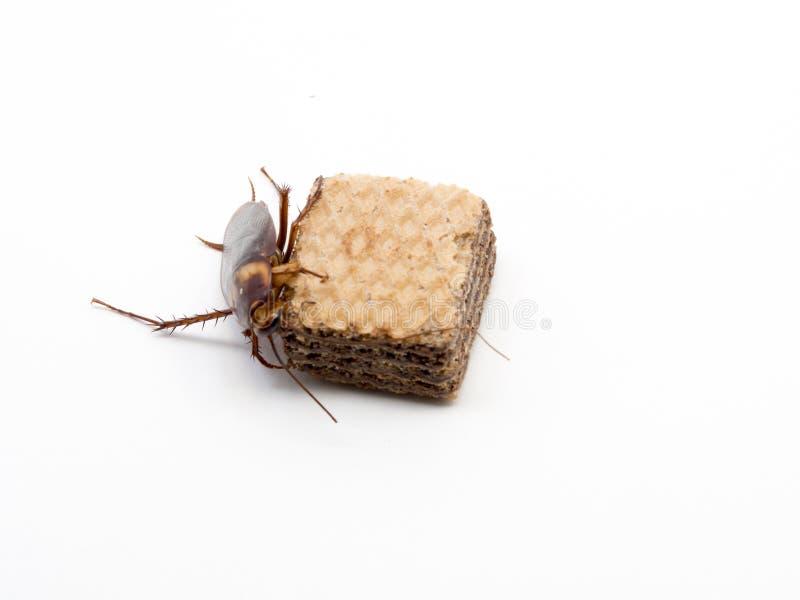 Zbliżenie karakan na czekoladowym opłatku Karakany są przewoźnikami choroba obraz stock