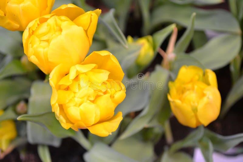 Zbliżenie karta żółci holenderscy tulipany błękitny karcianego projekta kwiecisty powitanie Pusta przestrzeń Wiosna wakacje Lata  zdjęcie royalty free