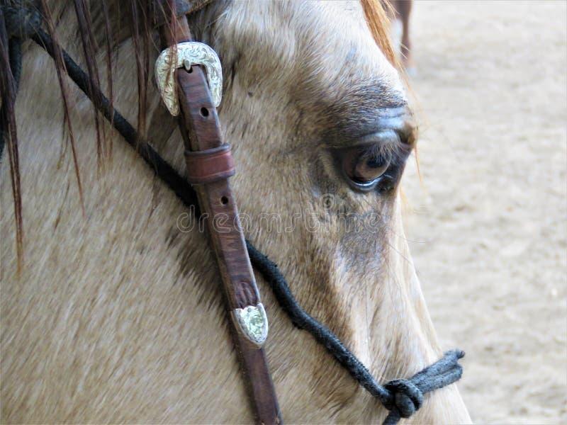 Zbliżenie końska ` s twarz zdjęcie royalty free