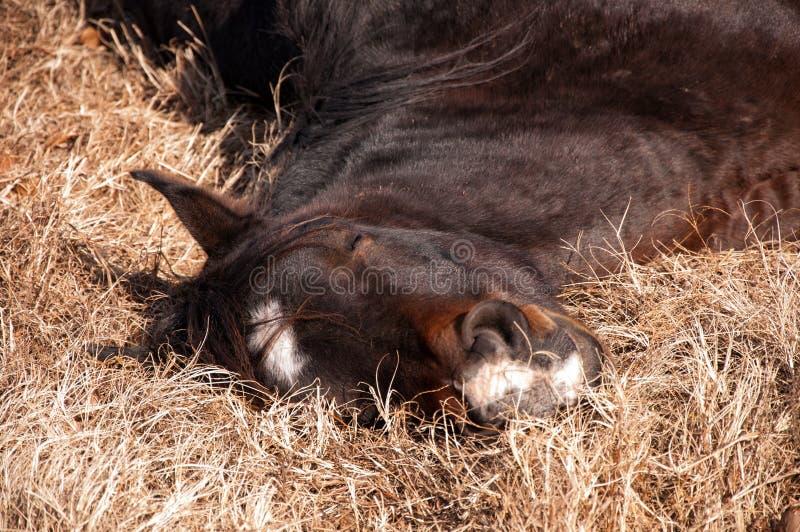 Zbliżenie koński rozsądny uśpiony zdjęcie royalty free