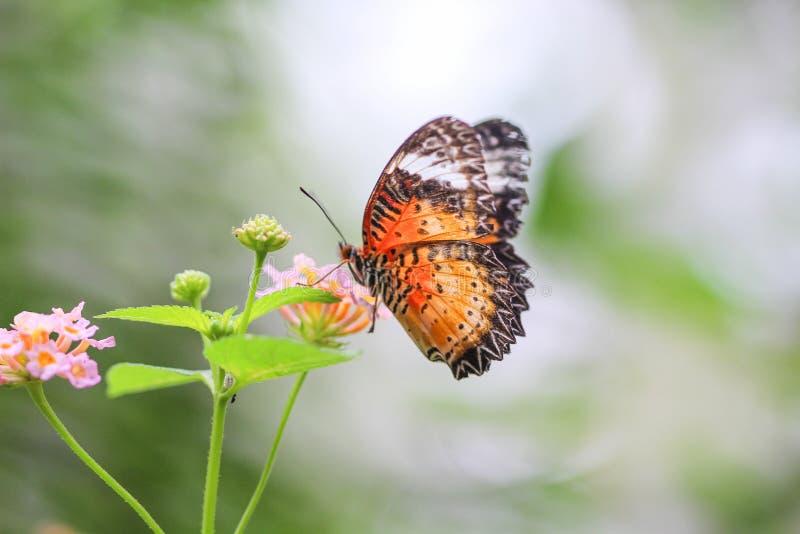 Zbliżenie kolorowy motyl na lantana camara kwiacie, naturalny tło zdjęcia royalty free