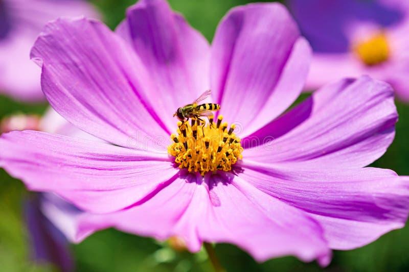 Zbliżenie kosmosy Kwitną z pszczołami w ogródzie obraz stock