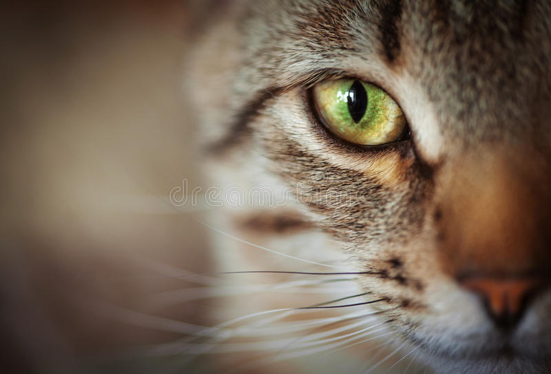 Zbliżenie kot twarz Fauny tło obraz royalty free