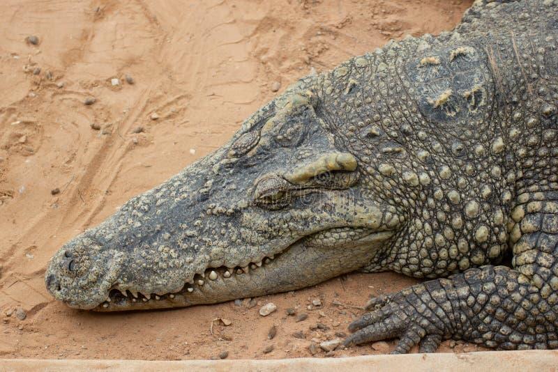 Zbliżenie krokodyla gospodarstwo rolne W Tajlandia obrazy royalty free