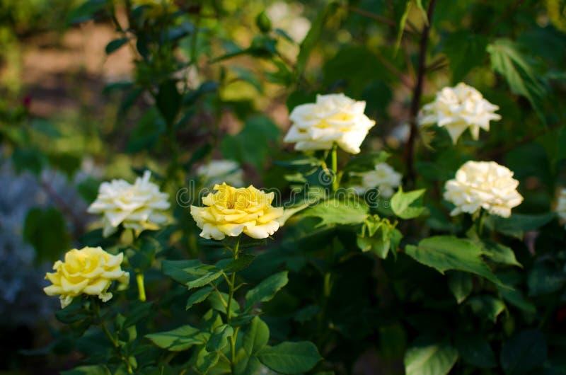 Zbliżenie krzak piękne białe i żółte róże fotografia royalty free