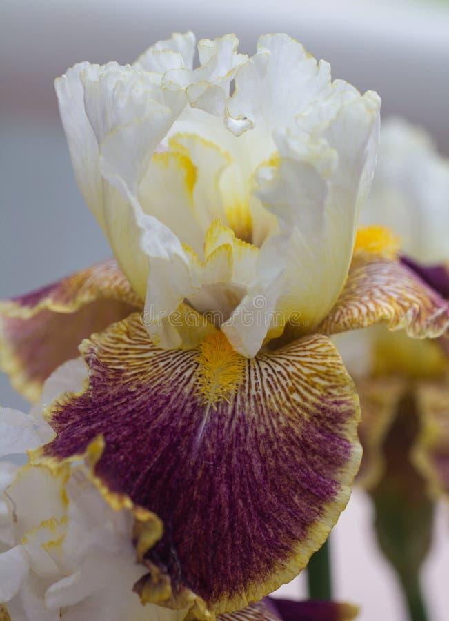 Zbliżenie kwiatu brodaty filigranowy purpurowy biały żółty irys Makro- fotografia zdjęcie royalty free