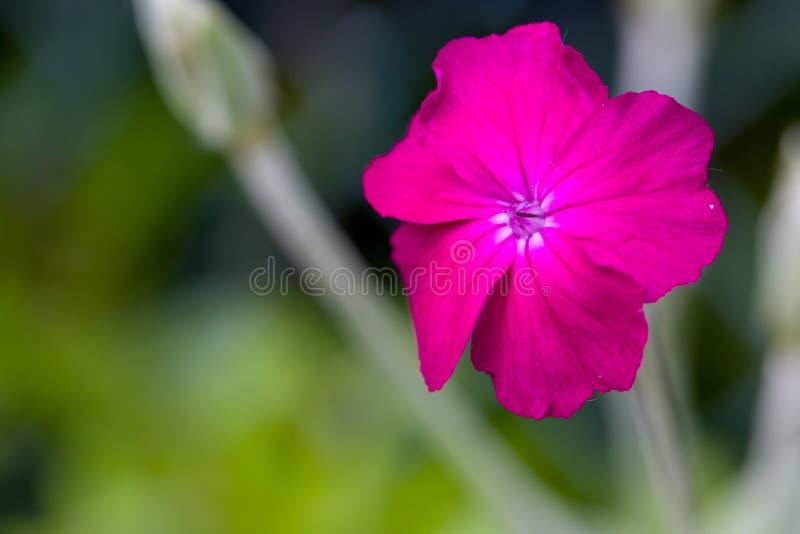 Zbliżenie kwitnący purpury róży firletki lychnis coronaria z naturalnym zielonym tłem i copyspace głębokość pola płytki fotografia stock