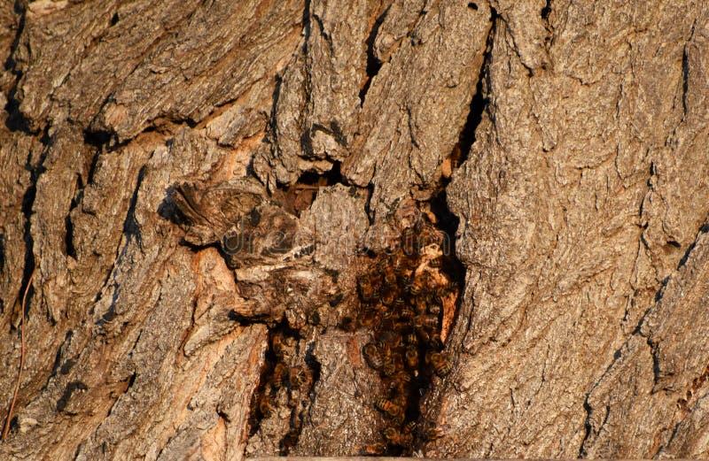 Zbliżenie lata niebezpieczeństwo Żółtej kurtki gniazdeczko w dziurze w drzewie zdjęcie stock