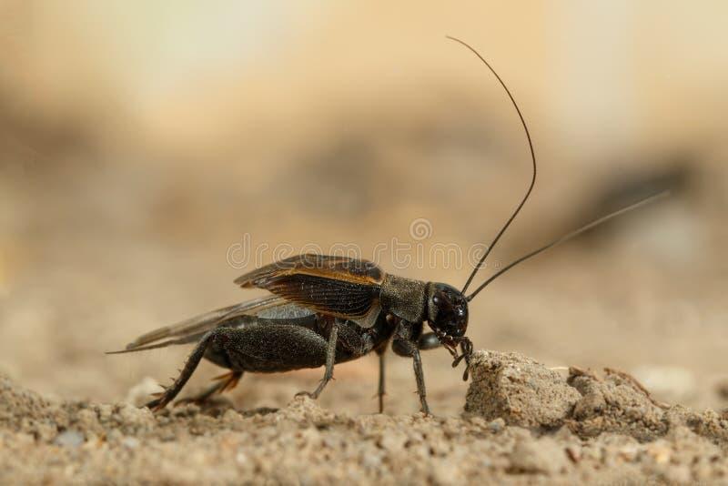 Zbliżenie męska krykiet kotelnia wzywał piasek w pustyni zdjęcie royalty free