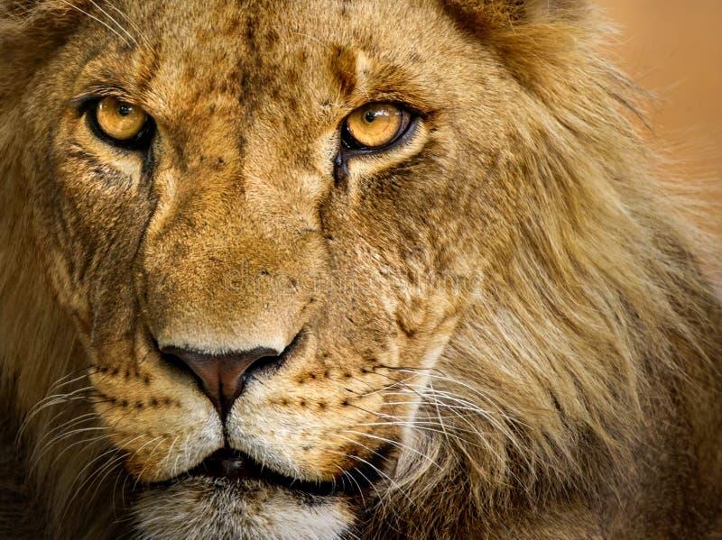 Zbliżenie młody męski lew obrazy stock