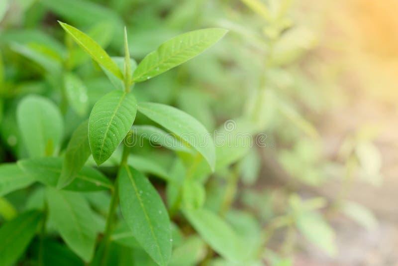 Zbliżenie młody Sunn hempCrotalaria juncea, Indiański konopie zdjęcia royalty free