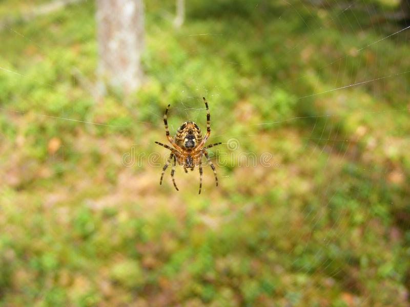 Zbliżenie makro- fotografia ogrodowy pająk na swój sieci zdjęcia royalty free