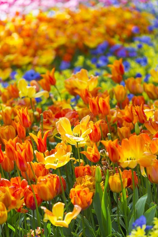 Zbliżenie Makro- strzał pole Krajowi holendera Holandia tulipany Selectives Strzelający Przeciw Zamazanemu tłu zdjęcia stock