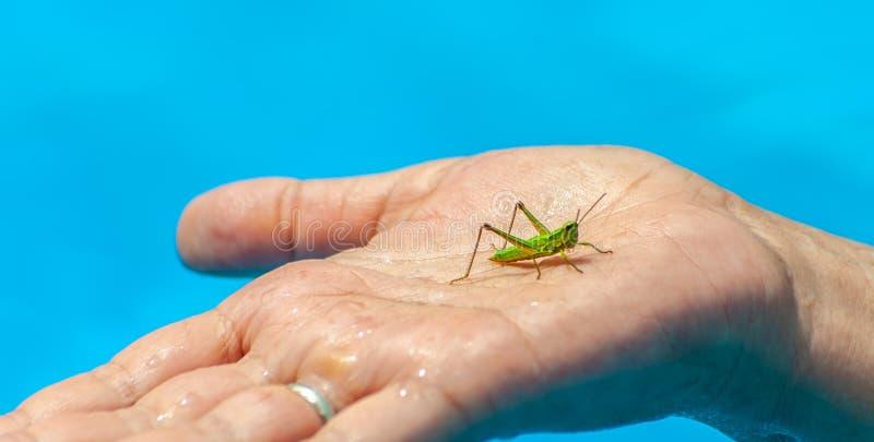 Zbliżenie mali zieleni pasikonika lub grig siedzenia na w średnim wieku kobiety ręce w basenie na błękitne wody zamazywał tło zdjęcia stock