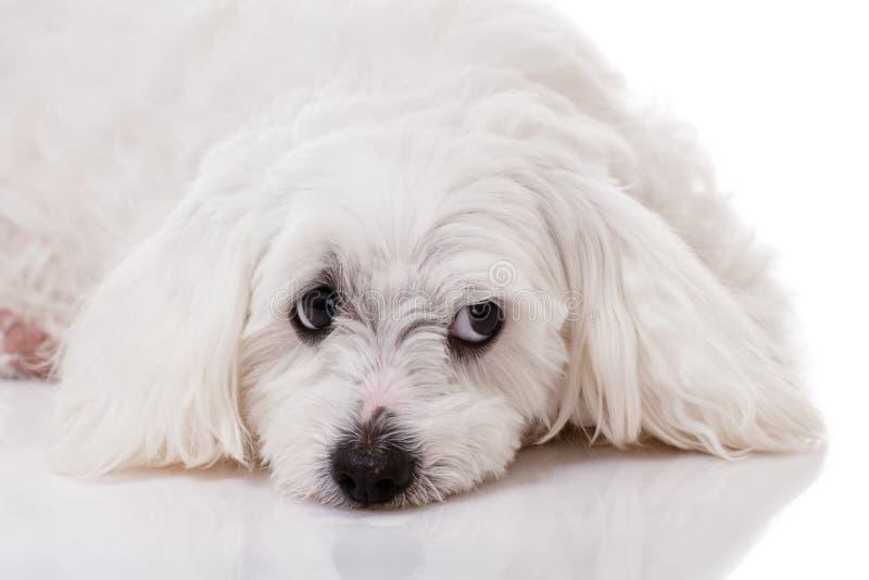 Zbliżenie maltese psa biały lying on the beach z smutnymi oczami patrzeje na boku i obraz stock