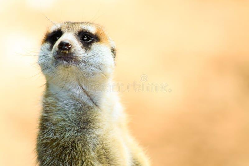 Zbliżenie Meerkat na ostrzeżeniu fotografia stock