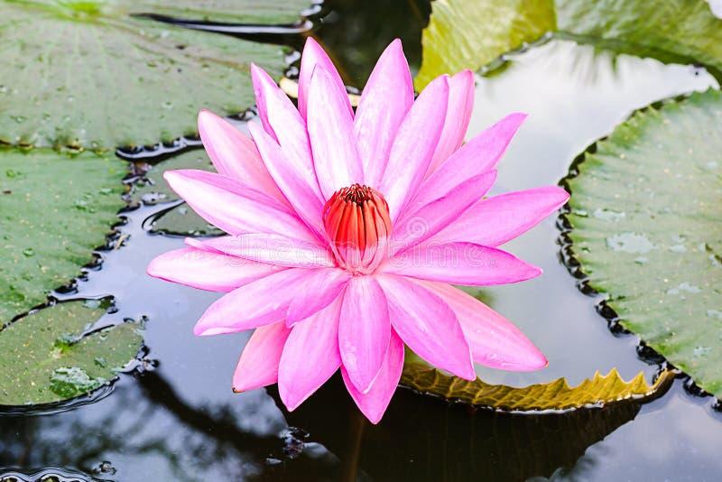 Zbliżenie menchie waterlily, lotosowy kwiat lub fotografia stock