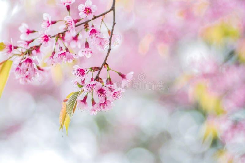 Zbliżenie menchii kwiaty Dzika Himalajska wiśnia (Prunus cerasoide obraz stock