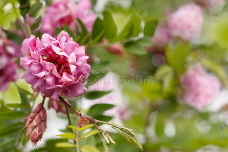 Zbliżenie menchii kwiaty grochodrzewu viscosa obrazy stock