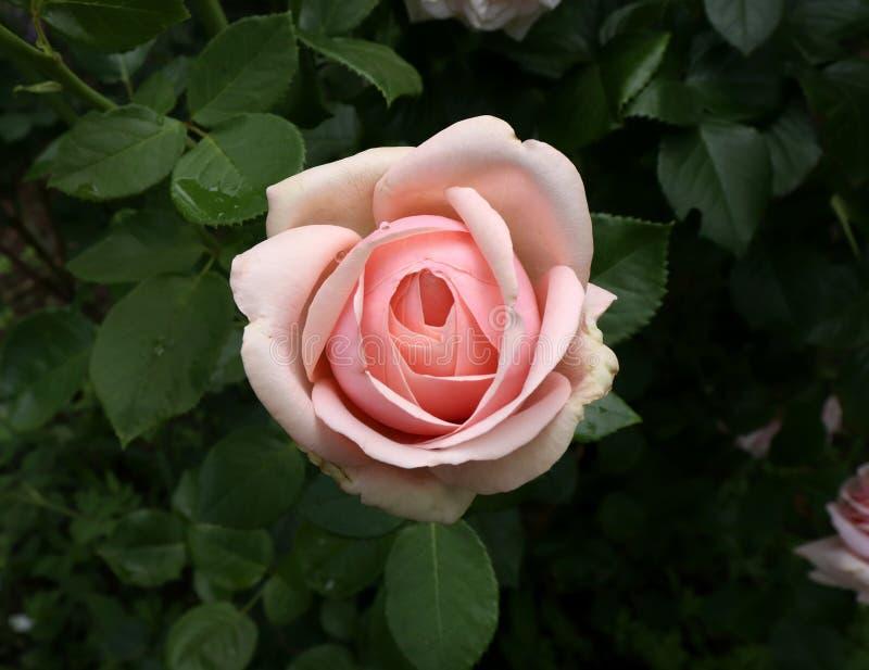 Zbliżenie menchii róży Aphrodite w organicznie ogródzie z zamazanym ulistnieniem Natura i różany pojęcie obrazy royalty free