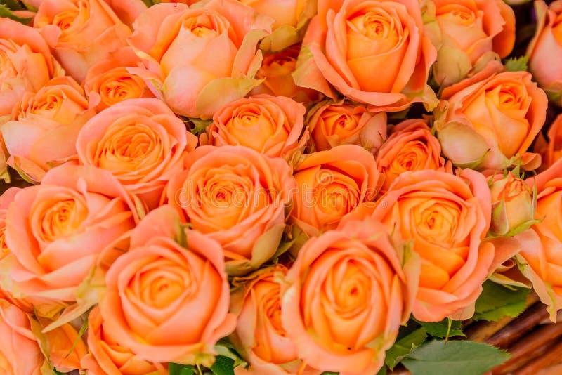 Zbliżenie menchii róży kwiaty zdjęcia royalty free